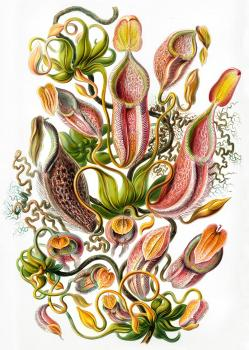 Haeckel's Nepenthes Framed Print for Sale