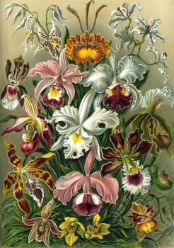Haeckel's Orchids Framed Print for Sale