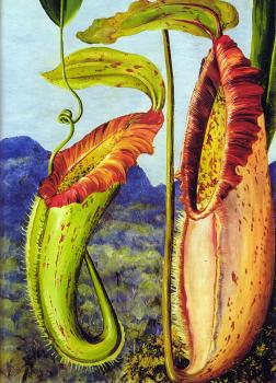 Nepenthes northiana Framed Print for Sale