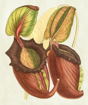 Nepenthes rajah Framed Print for Sale