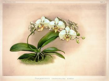 Phalaenopsis amabilis Framed Print for Sale
