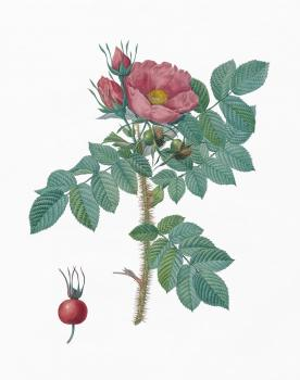 Rosa rugosa Framed Print for Sale